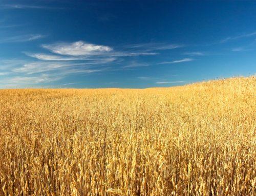 La récolte 2020 met en lumière que la ferme céréalière française est structurellement malade.
